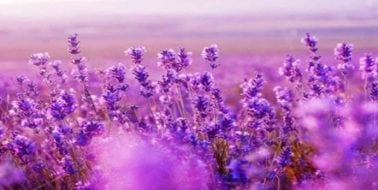 Ingredient, Lavender