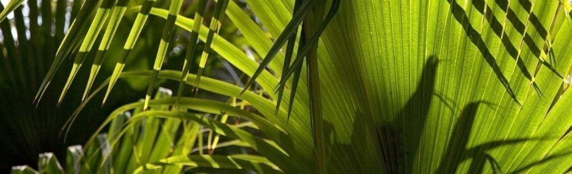 Ingredient Spotlight: Saw Palmetto