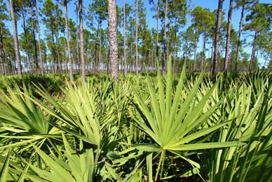 Ingredient Spotlight, Saw Palmetto