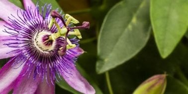 Ingredient Spotlight: Passion Flower 1