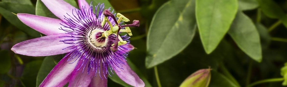 Ingredient Spotlight: Soothing Passion Flower Calms Frazzled Nerves