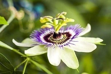 Ingredient Spotlight: Passion Flower