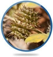 Tribulus Terrestris Fruit Extract