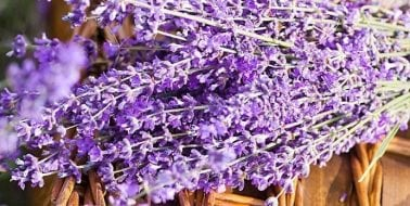 Lavender Proven Effective for Anxiety